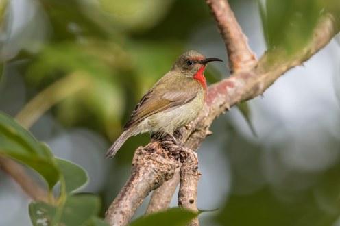 Vigor's sunbird (juvenile/eclipse)