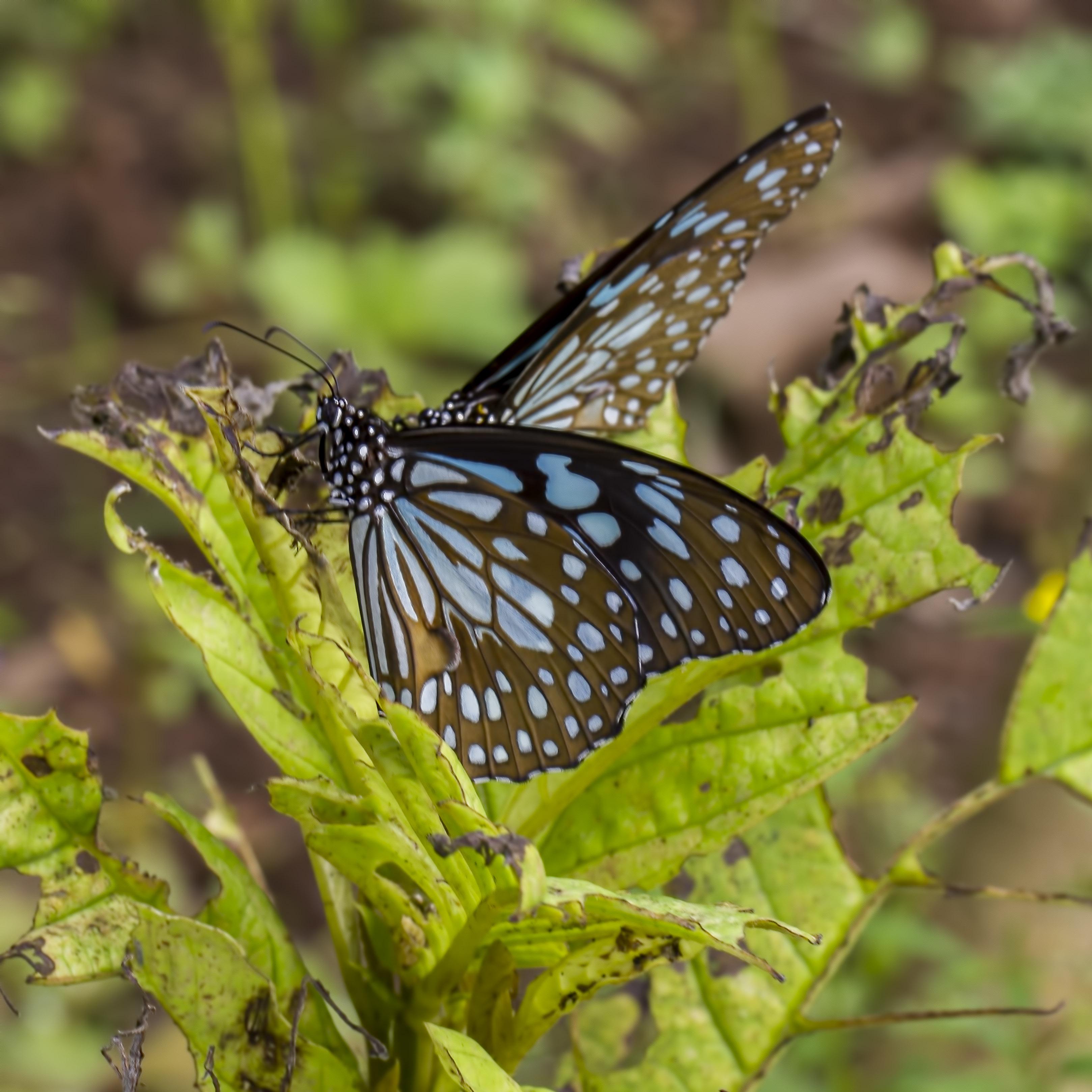 tiger dark blue
