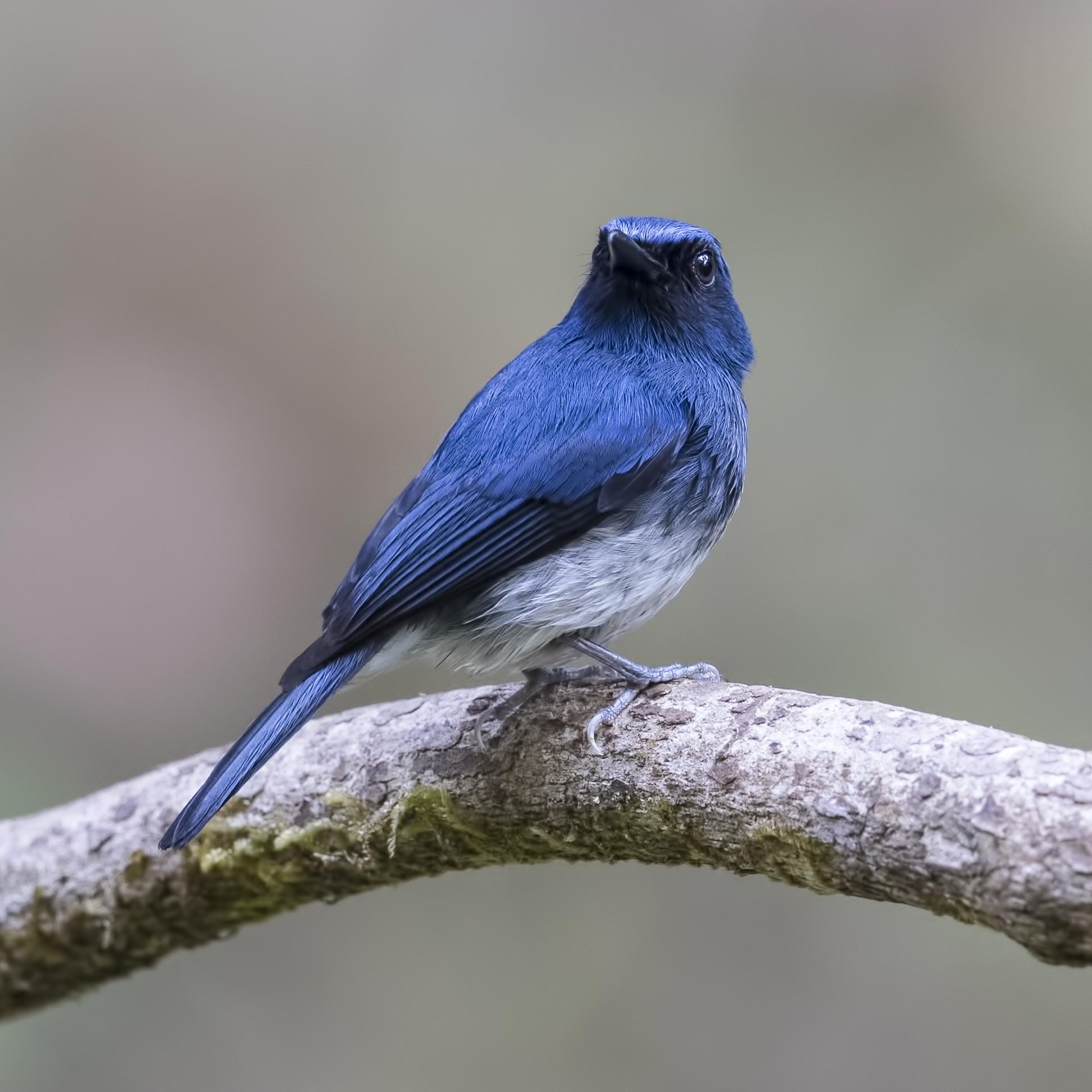 flycatcher white belied blue