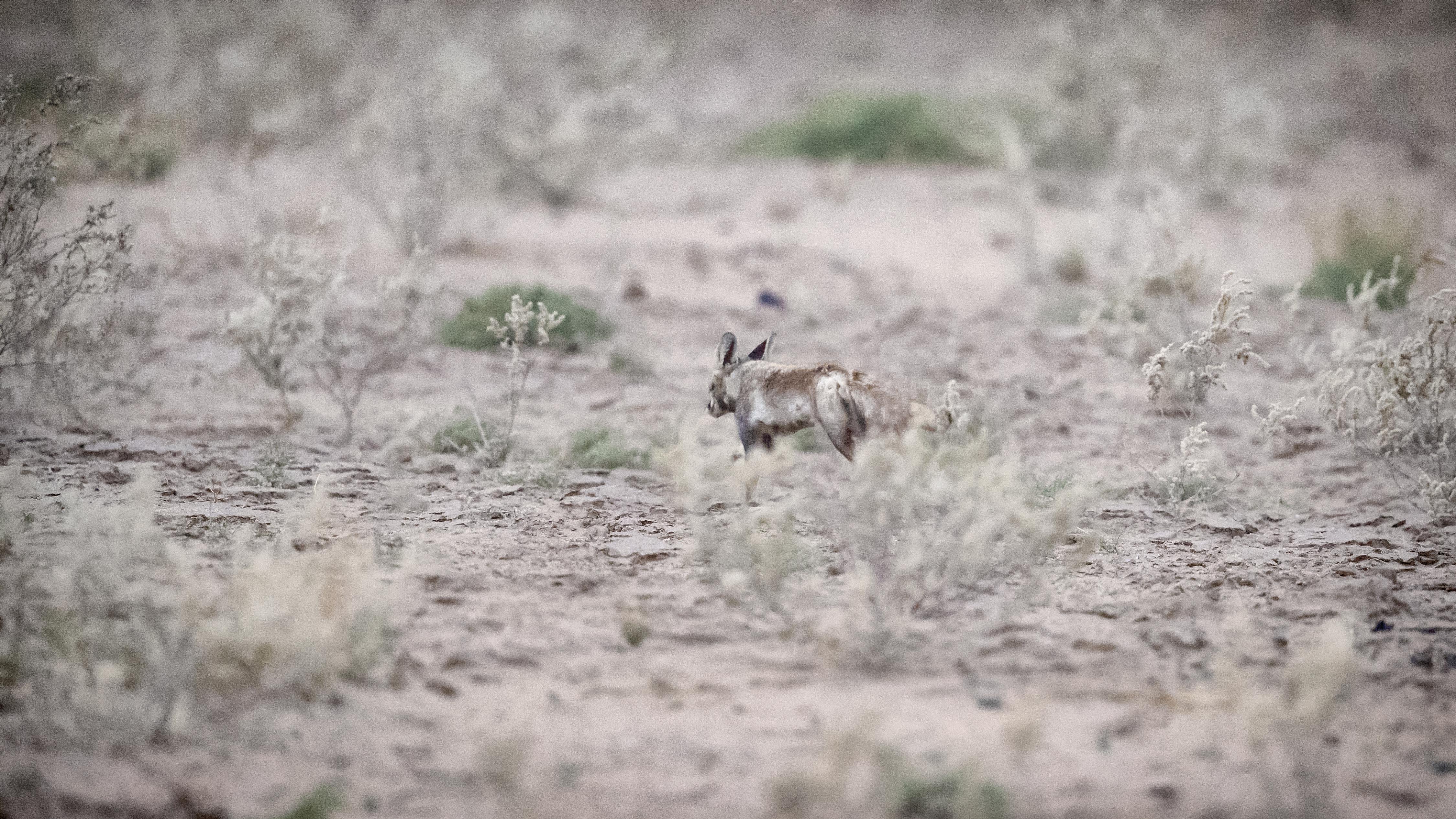 sandstorm fox