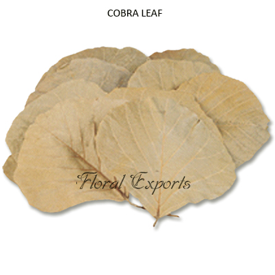 Cobra Leaves Natural Dried