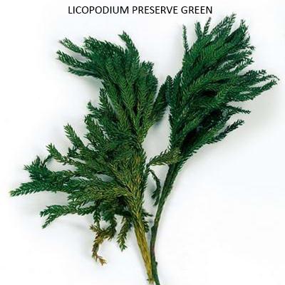 Licopodioum Preserve Green