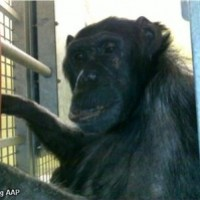 Chimpanzee Mojo locked in dark cage for thirty years