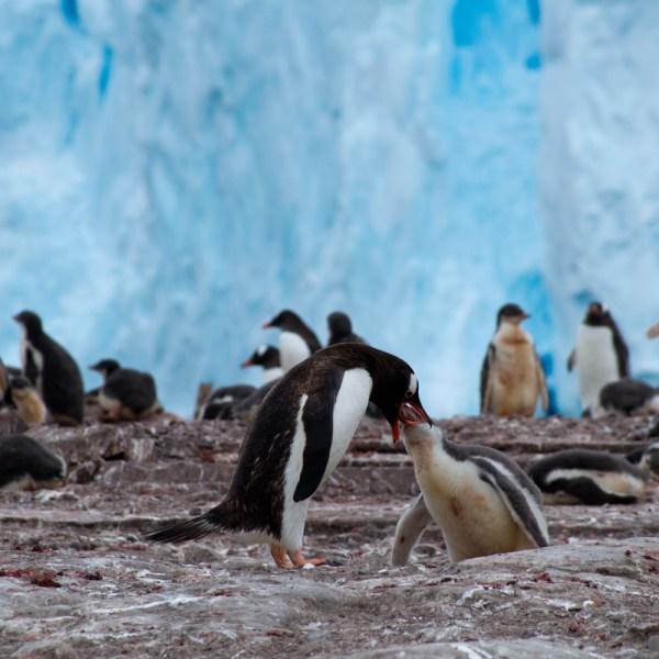 antarctica emperor-penguins