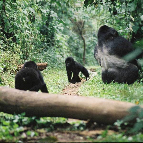 Drifters Guide Uganda Primates Experience Tour