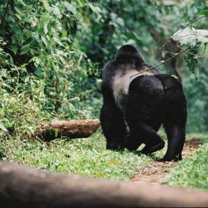 Drifters Guide Uganda Primates Experience Tour