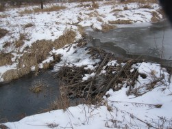 Amazingly effective beaver dam!