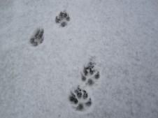 Puppy tracks!