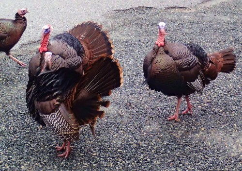 Gabriola Roadrunners In front of the building supply store, across from the feed store, Christmas dinner on the hoof.