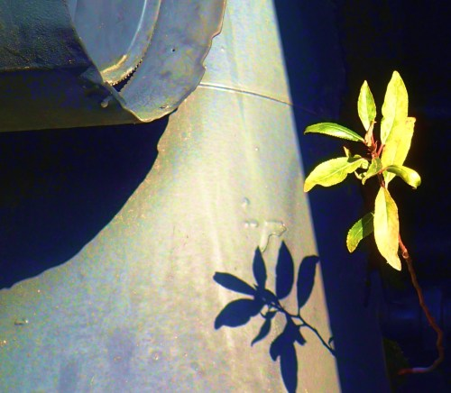 Back to basics. A seedling taking root in an old steam locomotive in Chemainus