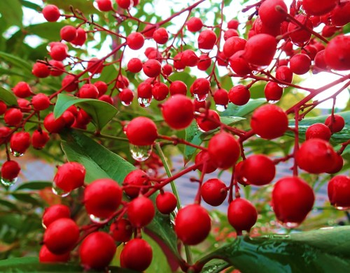 Wishing you many berries of happiness