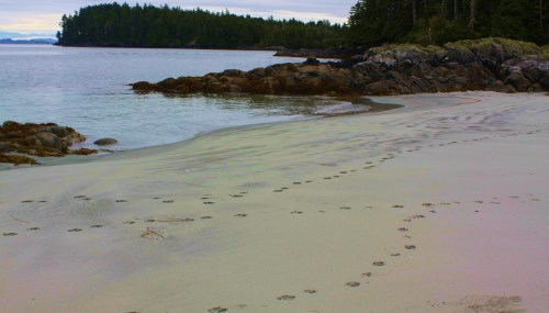 Wolf tracks for company. What a wonderful thing to see these fresh paw prints.