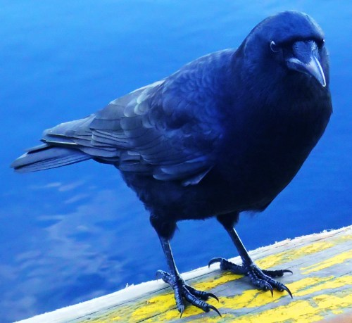 """Heckle? No, I'm Jeckle! These Bella Bella crows will raid your grocery bags on the water taxi dock...right under your feet!"
