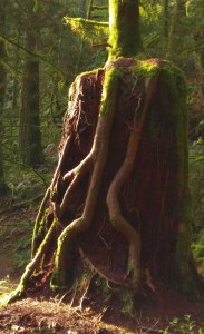 The Nurse Stump