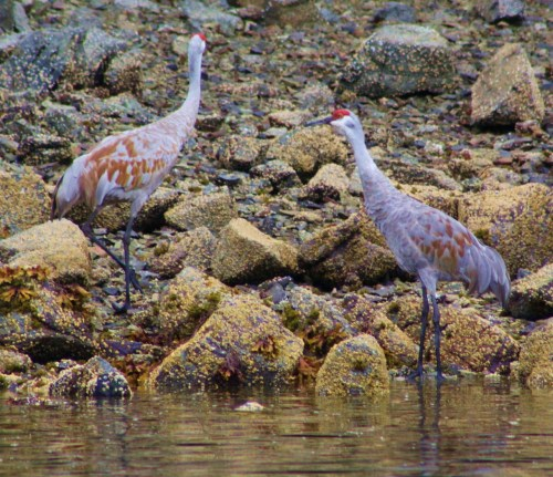 Sandhill Cranes, photographed from 'Seafire'