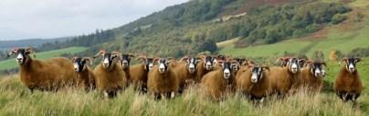 Shearlings