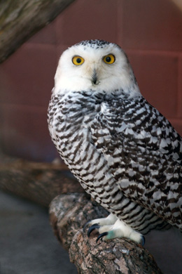 snowy-owl-female-copy
