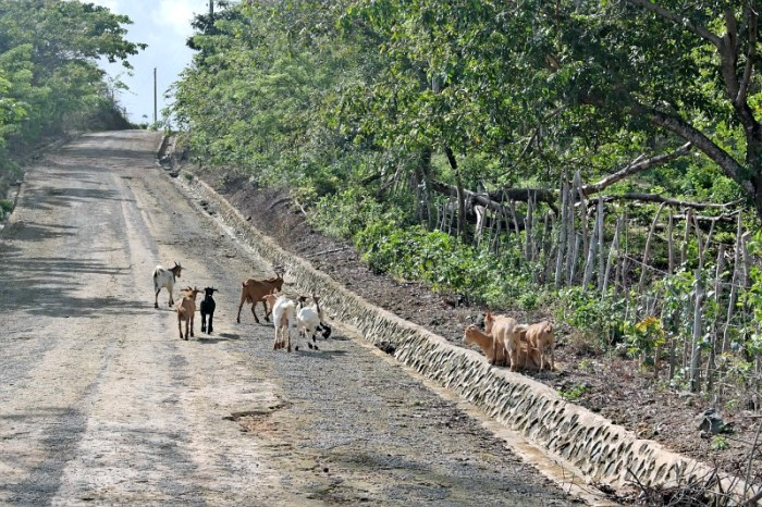 Goats-in-the-Road