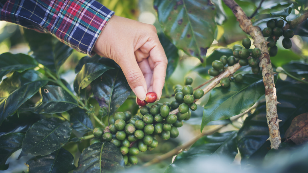 Hand harvesting coffee cherries from plant
