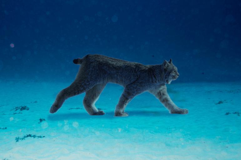 Hunting Sea Lynx