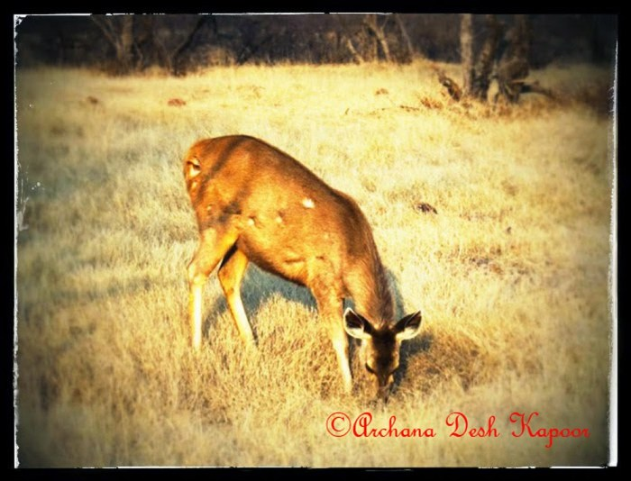 Grazing gazelle..