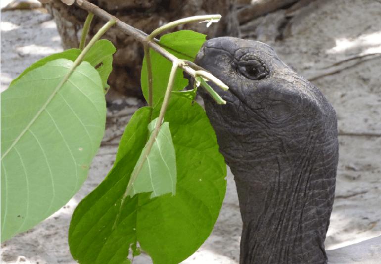 Tartarughe Curieuse Island, Seychelles 2