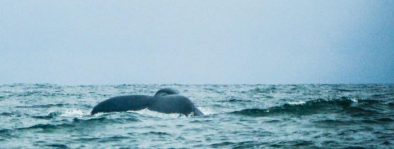 Balene in Congo