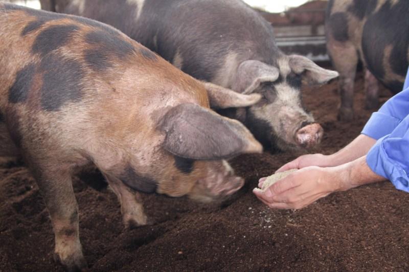 平田牧場の豚は、お米を食べて美味しく育ちます。