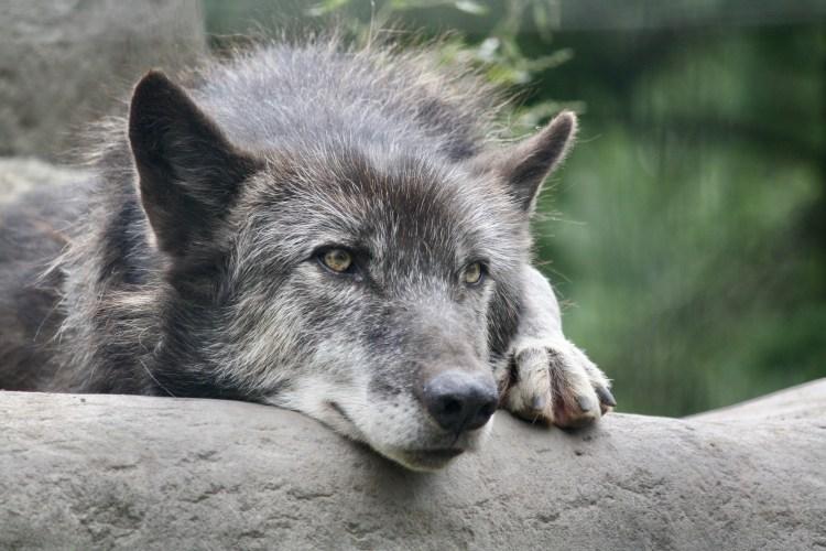 timber wolf at Asahiyama zoo