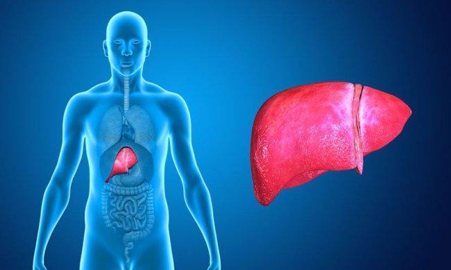 The liver - Copyright : Naveen Kalwa