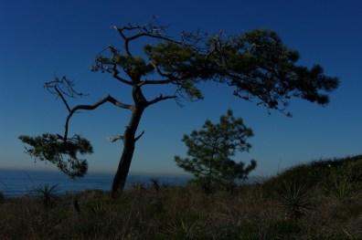 A Torrey Pine itself.