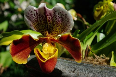 A lady's slipper orchid.
