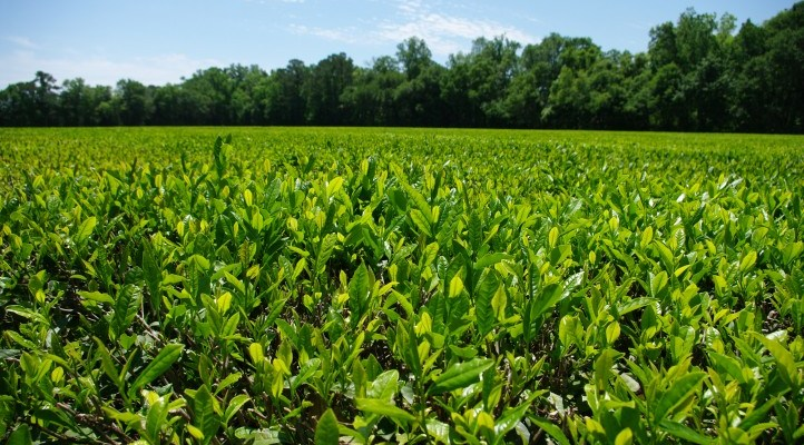 America's Only Tea Plantation Is In Charleston, SC