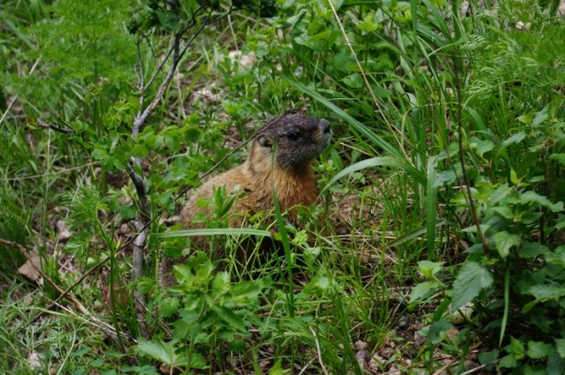 I don't know if this is an Uinta ground squirrel or a marmot, but it was definitely hungry.