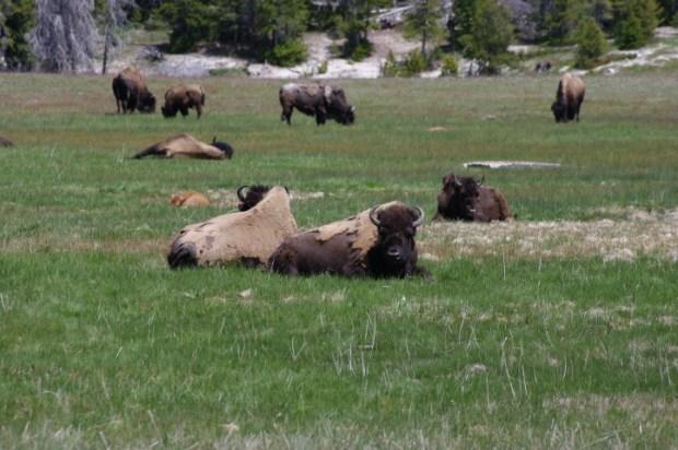 Raggedy buffalo hanging out near Old Faithful.