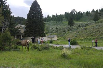 Elk photography right outside Mammoth, WY.
