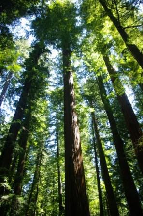 Tall tree, part 2.