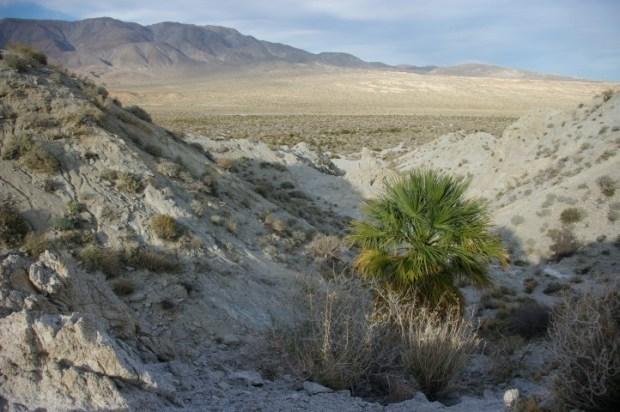 A single palm in Agua Caliente.