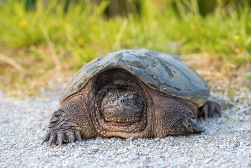 dangerous creatures in lake michigan. snapping turtle