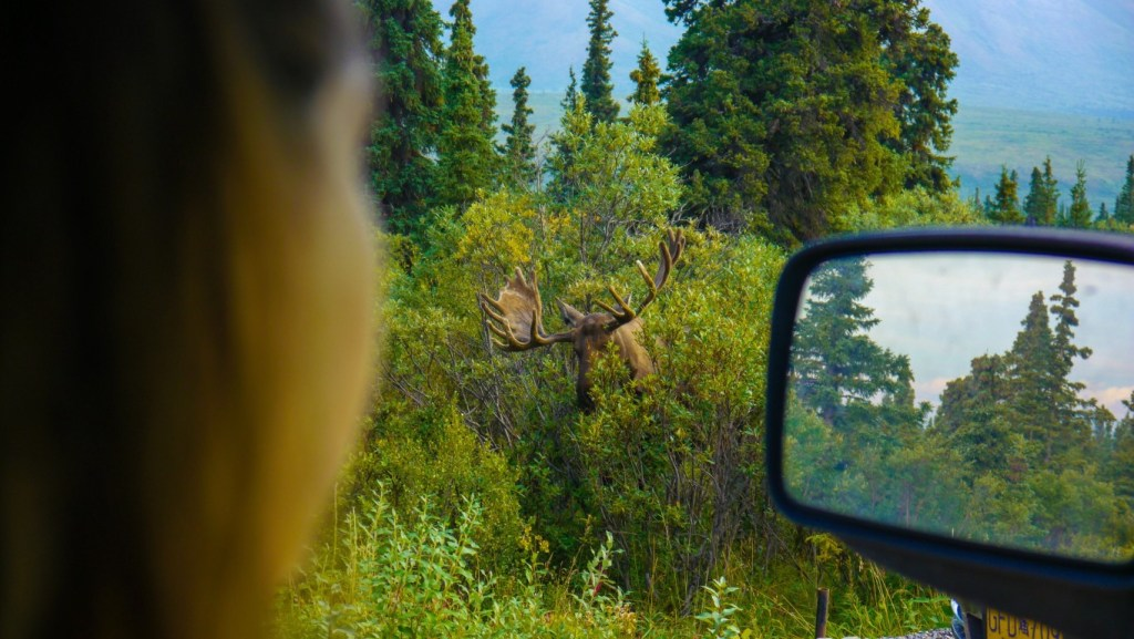Woman looking at moose from car window.