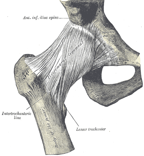 Hip Joint (anterior with ligaments)
