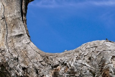 Close-up photograph of Australian tree against blue sky, taken for healing by a medical doctor