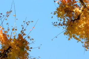 Healing photograph of yellow red fall autumn leaves silhouetted against blue sky