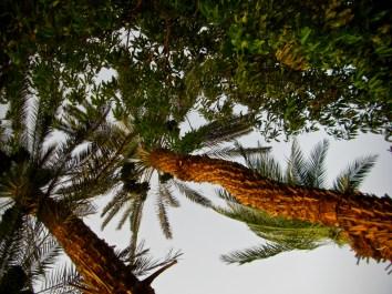 Aswan Date Palms