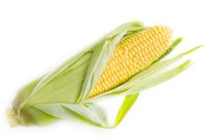 Picture of fresh corn with husk pulled back exposing the beautiful yellow kernels