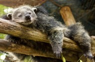 Snoozy the Binturong, 80% of the time you can find him like this