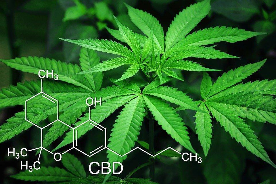 Cannabis plant containing CBD can help addiction
