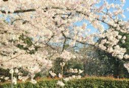 201904桜