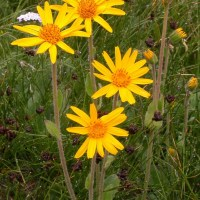 Arnica Montana - All you need to know