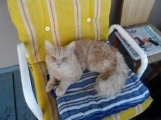 Chat pas polydactyle croisé dans un motel